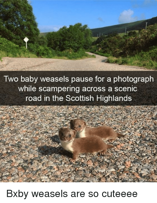Scottish, Baby, and For: Iwo baby weasels pause for a photograph  while scampering across a scenic  road in the Scottish Highlands Bxby weasels are so cuteeee
