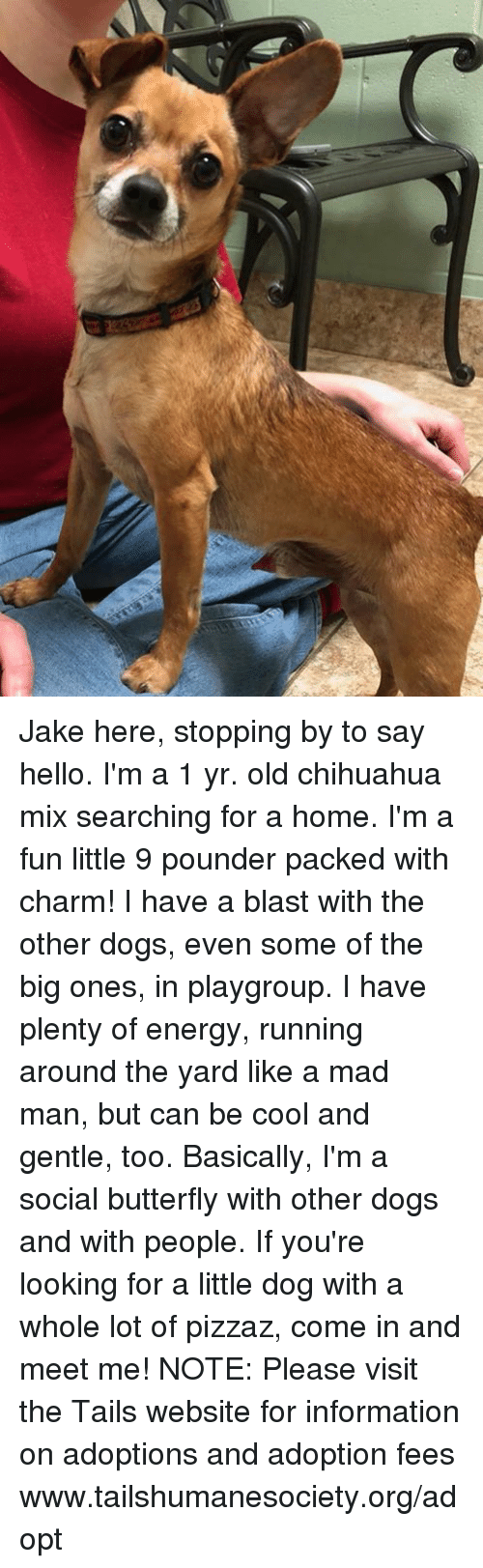 Chihuahua, Dogs, and Energy: Jake here, stopping by to say hello. I'm a 1 yr. old chihuahua mix searching for a home. I'm a fun little 9 pounder packed with charm! I have a blast with the other dogs, even some of the big ones, in playgroup. I have plenty of energy, running around the yard like a mad man, but can be cool and gentle, too. Basically, I'm a social butterfly with other dogs and with people. If you're looking for a little dog with a whole lot of pizzaz, come in and meet me! NOTE: Please visit the Tails website for information on adoptions and adoption fees www.tailshumanesociety.org/adopt