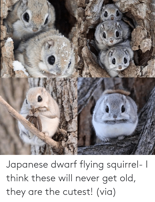 Aww, Reddit, and Target: Japanese dwarf flying squirrel- I think these will never get old, they are the cutest!(via)