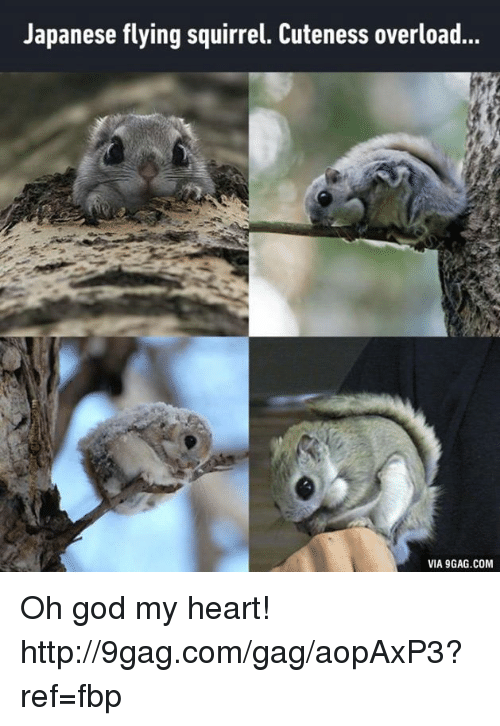 Japanese flying squirrel gif - digitalspace info
