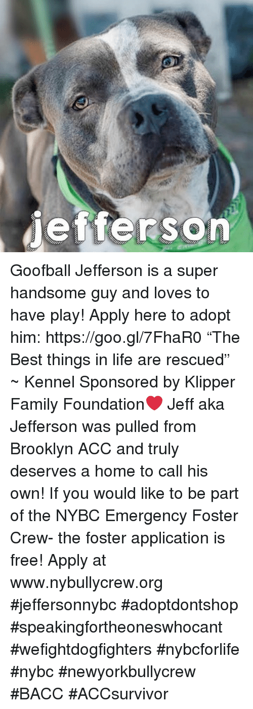 "Family, Life, and Memes: jefferson Goofball Jefferson is a super handsome guy and loves to have play! Apply here to adopt him: https://goo.gl/7FhaR0  ""The Best things in life are rescued"" ~ Kennel Sponsored by Klipper Family Foundation❤️  Jeff aka Jefferson was pulled from Brooklyn ACC and truly deserves a home to call his own! If you would like to be part of the NYBC Emergency Foster Crew- the foster application is free! Apply at www.nybullycrew.org   #jeffersonnybc #adoptdontshop #speakingfortheoneswhocant #wefightdogfighters #nybcforlife #nybc #newyorkbullycrew #BACC #ACCsurvivor"