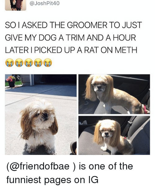 Funny, Meme, and Meth: @Josh Pit 40  SOIASKED THE GROOMER TO JUST  GIVE MY DOG A TRIM AND A HOUR  LATER I PICKED UP A RAT ON METH (@friendofbae ) is one of the funniest pages on IG