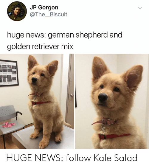 Memes, News, and German Shepherd: JP Gorgon  @The_Biscuit  huge news: german shepherd and  golden retriever mix HUGE NEWS: follow Kale Salad