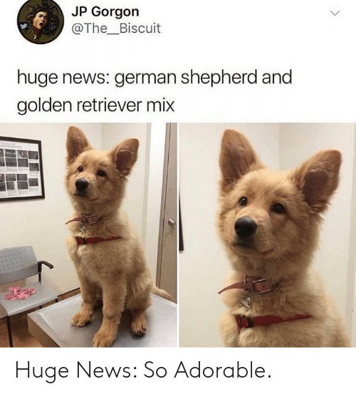 News, German Shepherd, and Golden Retriever: JP Gorgon  @The_Biscuit  huge news: german shepherd and  golden retriever mix Huge News: So Adorable.