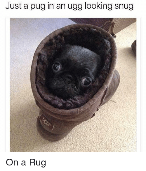 Memes Ugg And Pugs Just A Pug In An Looking Snug On