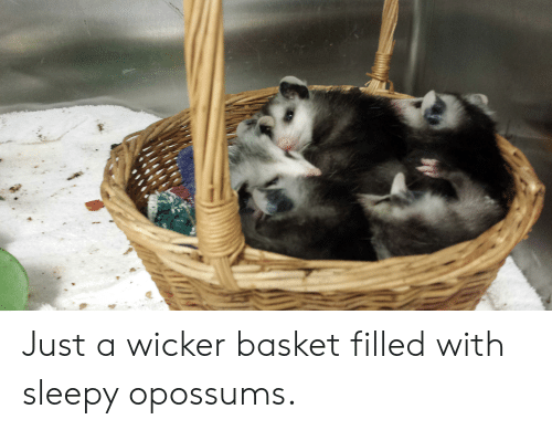 Sleepy, Just, and Basket: Just a wicker basket filled with sleepy opossums.