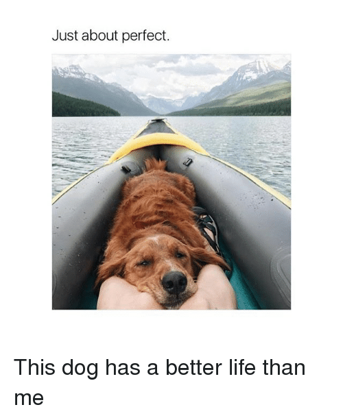 just about perfect this dog has a better life than 25598597 just about perfect this dog has a better life than me life meme