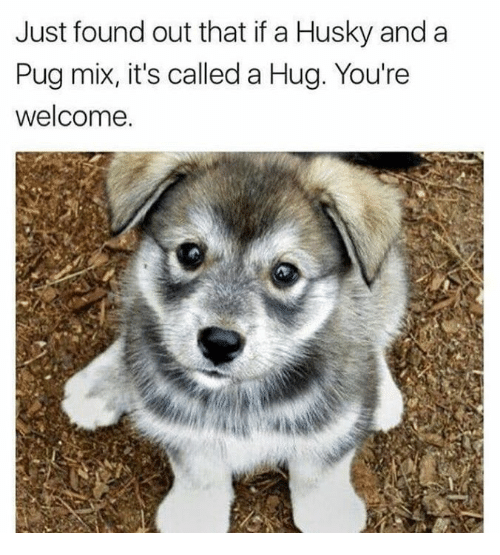 husky pug hug just found out that if a husky and a pug mix it s called a 6667