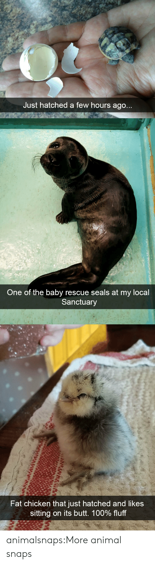 Anaconda, Butt, and Target: Just hatched a few hours ago   One of the baby rescue seals at my local  Sanctuary   Fat chicken that just hatched and likes  sitting on its butt. 100% fluff animalsnaps:More animal snaps