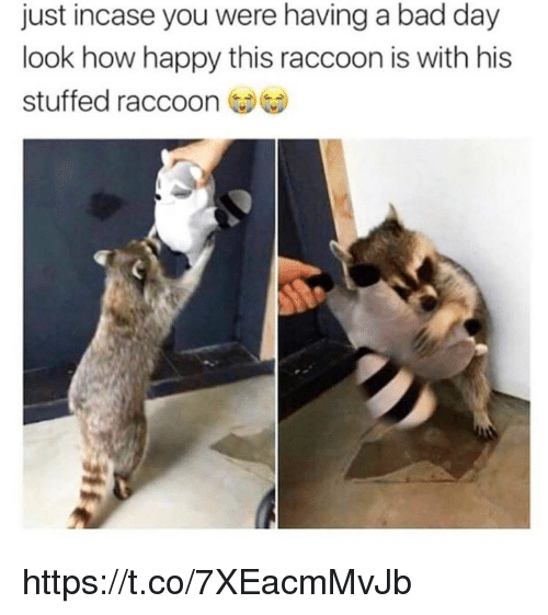 Bad, Bad Day, and Memes: just incase you were having a bad day  look how happy this raccoon is with his  stuffed raccoon https://t.co/7XEacmMvJb