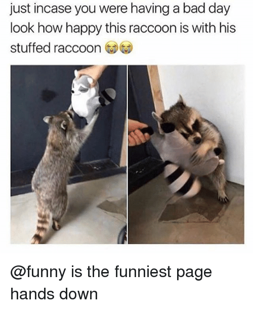 Bad, Bad Day, and Funny: just incase you were having a bad day  look how happy this raccoon is with his  stuffed raccoon @funny is the funniest page hands down