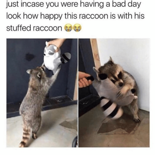 Bad, Bad Day, and Memes: just incase you were having a bad day  look how happy this raccoon is with his  stuffed raccoon