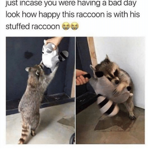 Bad, Bad Day, and Dank: Just incase you were having a bad day  look how happy this raccoon is with his  stuffed raccoon