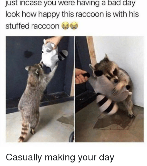 Bad, Bad Day, and Happy: just incase you were having a bad day  look how happy this raccoon is with his  stuffed raccoon Casually making your day