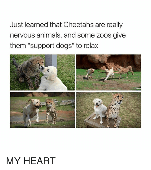 "Animals, Dogs, and Heart: Just learned that Cheetahs are really  nervous animals, and some zoos give  them ""support dogs"" to relax MY HEART"