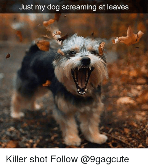 Memes, 🤖, and Dog: Just my dog screaming at leaves  d- Killer shot Follow @9gagcute