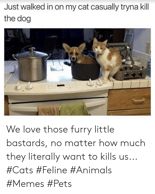 Animals, Cats, and Love: Just walked in on my cat casually tryna kill  the dog We love those furry little bastards, no matter how much they literally want to kills us... #Cats #Feline #Animals #Memes #Pets