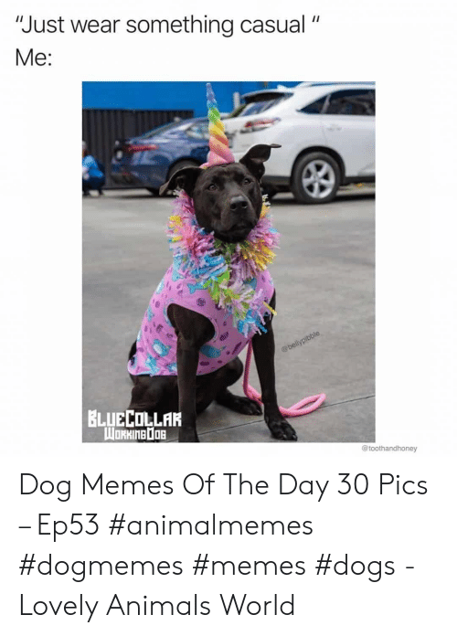 """Animals, Dogs, and Memes: """"Just wear something casual  Me:  @bellypibble  BLUECOLLAR  WORHINEDOB  @toothandhoney Dog Memes Of The Day 30 Pics – Ep53 #animalmemes #dogmemes #memes #dogs - Lovely Animals World"""