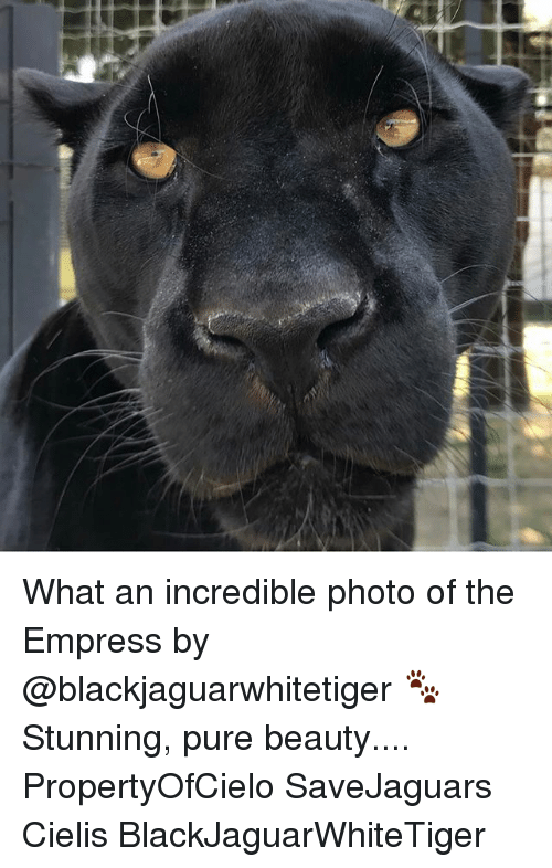 Memes, 🤖, and Photo: K What an incredible photo of the Empress by @blackjaguarwhitetiger 🐾 Stunning, pure beauty.... PropertyOfCielo SaveJaguars Cielis BlackJaguarWhiteTiger