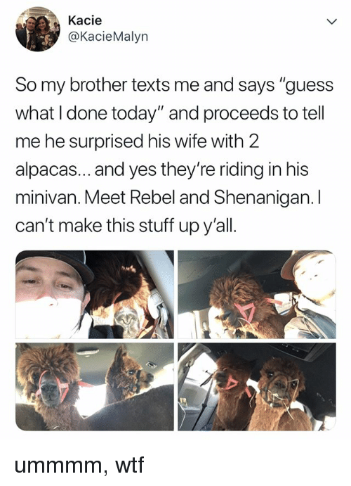 """Wtf, Guess, and Stuff: Kacie  @KacieMalyn  So my brother texts me and says """"guess  what I done today"""" and proceeds to tell  me he surprised his wife with 2  alpacas... and yes they're riding in his  minivan. Meet Rebel and Shenanigan. I  can't make this stuff upy'all. ummmm, wtf"""
