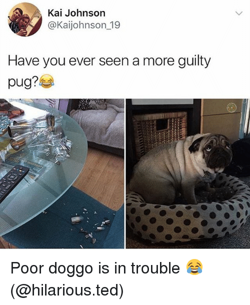 Funny, Ted, and Hilarious: Kai Johnson  @Kaijohnson_19  Have you ever seen a more guilty  pug? Poor doggo is in trouble 😂 (@hilarious.ted)