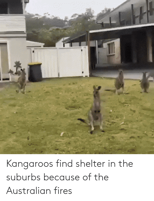 Australian, Shelter, and The Australian: Kangaroos find shelter in the suburbs because of the Australian fires