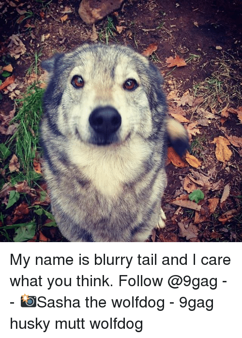 9gag, Memes, and Husky: Ke  y My name is blurry tail and I care what you think. Follow @9gag - - 📸Sasha the wolfdog - 9gag husky mutt wolfdog