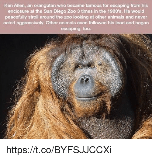 Ken Allen An Orangutan Who Became Famous For Escaping From His