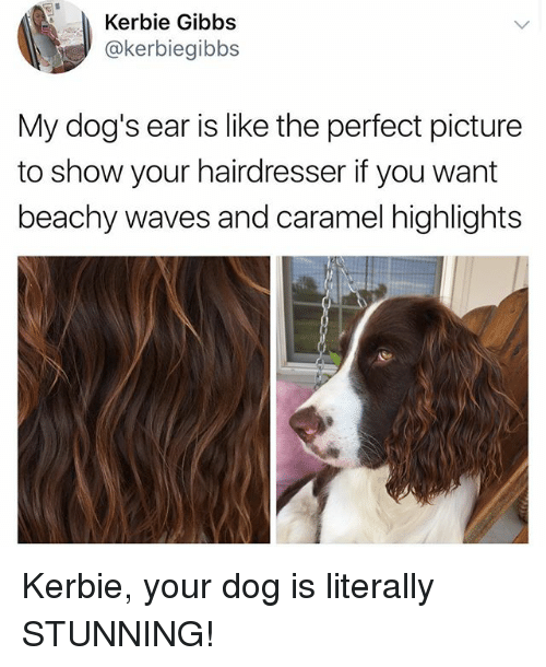 Dogs, Waves, and Girl Memes: Kerbie Gibbs  @kerbiegibbs  My dog's ear is like the perfect picture  to show your hairdresser if you want  beachy waves and caramel highlights Kerbie, your dog is literally STUNNING!