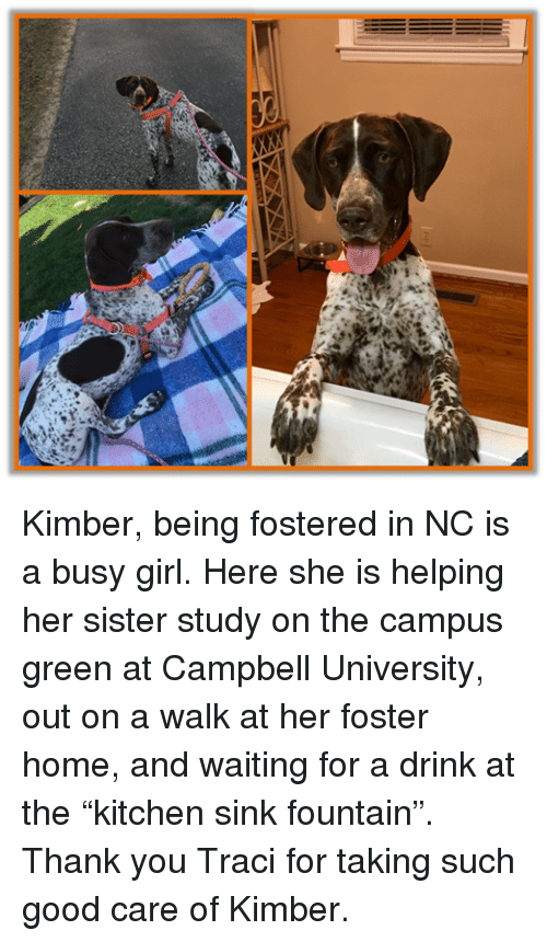"""Memes, Thank You, and Girl: Kimber, being fostered in NC is a busy girl. Here she is helping her sister study on the campus green at Campbell University, out on a walk at her foster home, and waiting for a drink at the """"kitchen sink fountain"""".  Thank you Traci for taking such good care of Kimber."""