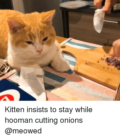 Memes, 🤖, and Kitten: Kitten insists to stay while hooman cutting onions @meowed