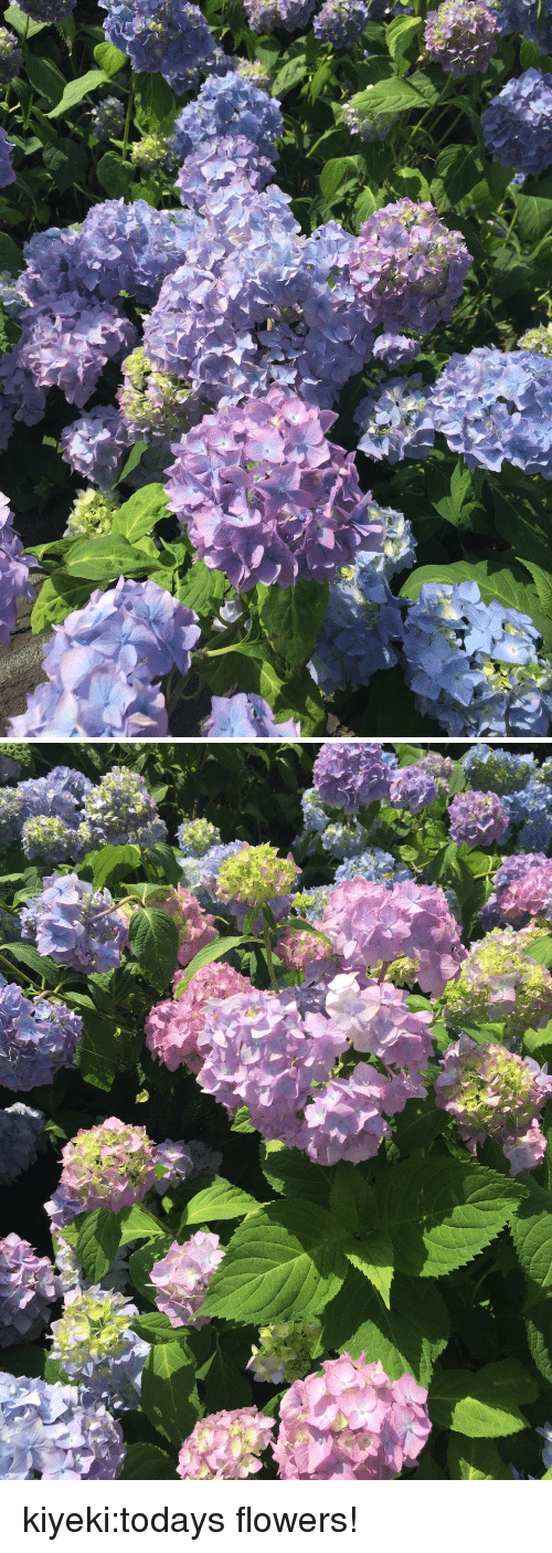 Tumblr, Blog, and Flowers: kiyeki:todays flowers!