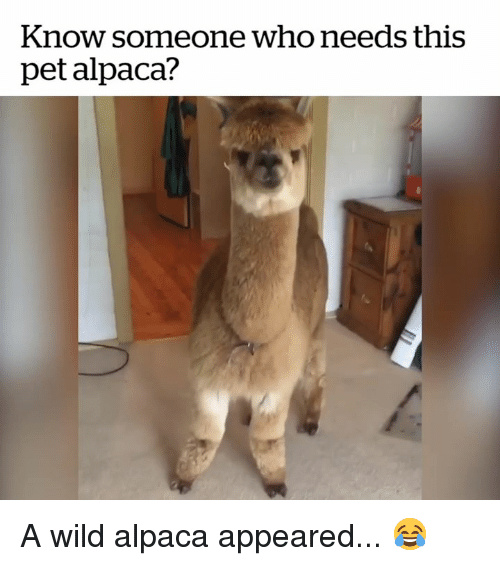 Wild, Alpaca, and Who: Know someone who needs this  pet alpaca? A wild alpaca appeared... 😂