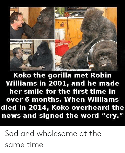 "News, Robin Williams, and Smile: Koko the gorilla met Robin  Williams in 2001, and he made  her smile for the first time in  over 6 months. When Williams  died in 2014, Koko overheard the  news and signed the word ""cry."" Sad and wholesome at the same time"