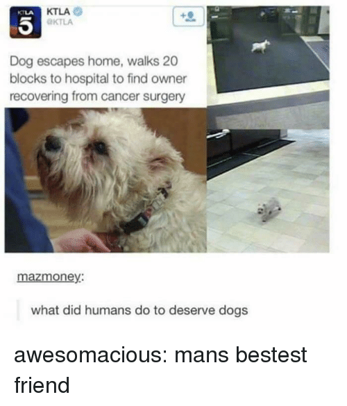 Dogs, Tumblr, and Blog: KTLA  KTLA  KTLA  Dog escapes home, walks 20  blocks to hospital to find owner  recovering from cancer surgery  mazmoney:  what did humans do to deserve dogs awesomacious:  mans bestest friend