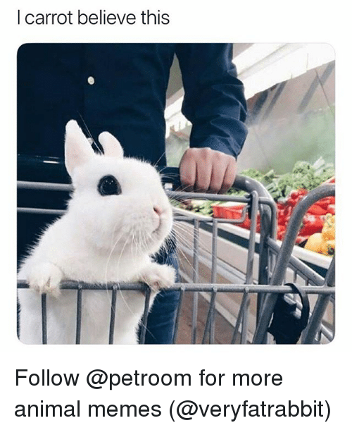 Funny, Memes, and Animal: l carrot believe this Follow @petroom for more animal memes (@veryfatrabbit)
