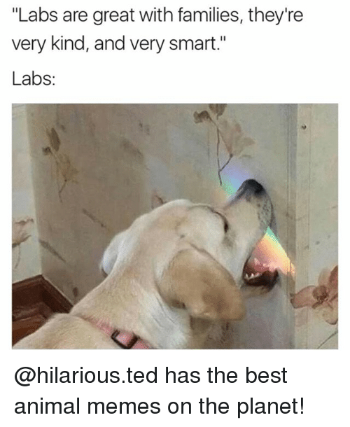 "Funny, Memes, and Ted: ""Labs are great with families, they're  very kind, and very smart.""  Labs @hilarious.ted has the best animal memes on the planet!"