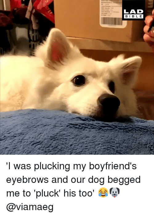 Memes, 🤖, and Dog: LAD  BIBL E 'I was plucking my boyfriend's eyebrows and our dog begged me to 'pluck' his too' 😂🐶 @viamaeg