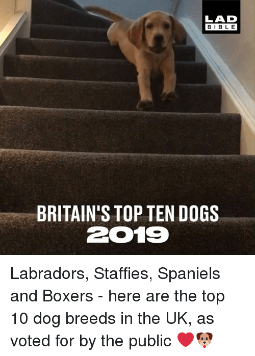 Dank, Dogs, and Bible: LAD  BIBLE  BRITAIN'S TOP TEN DOGS  2019 Labradors, Staffies, Spaniels and Boxers - here are the top 10 dog breeds in the UK, as voted for by the public ❤🐶