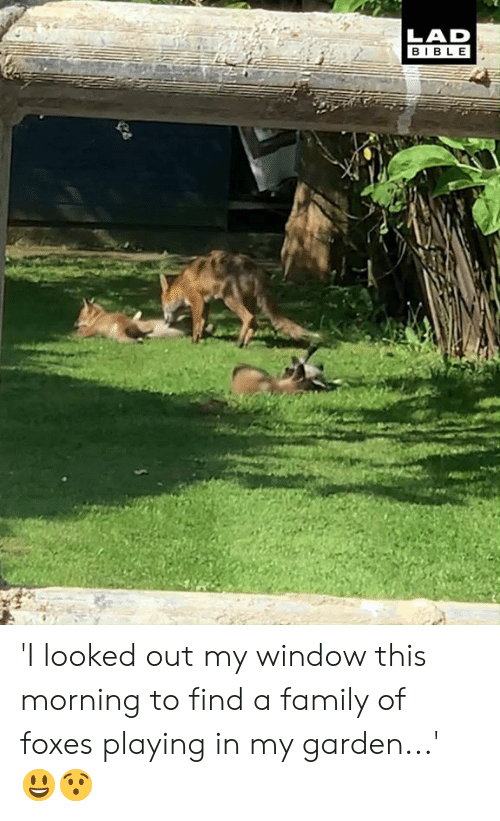 Dank, Family, and Bible: LAD  BIBLE 'I looked out my window this morning to find a family of foxes playing in my garden...' 😃😯