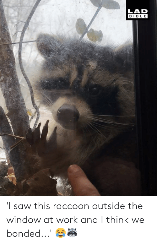 Dank, Saw, and Work: LAD  BIBLE 'I saw this raccoon outside the window at work and I think we bonded...' 😂🦝