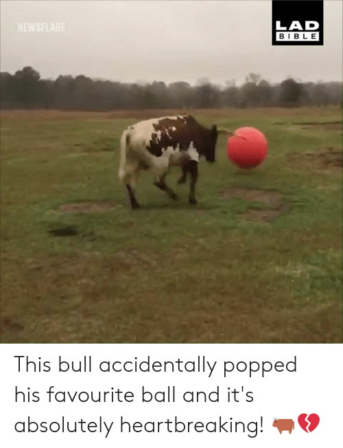 Dank, Bible, and 🤖: LAD  BIBLE  NEWSFLARE This bull accidentally popped his favourite ball and it's absolutely heartbreaking! 🐂💔