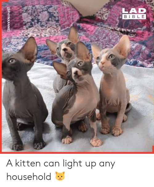 Dank, Bible, and 🤖: LAD  BIBLE  [SPHYNXANNEJ A kitten can light up any household 🐱