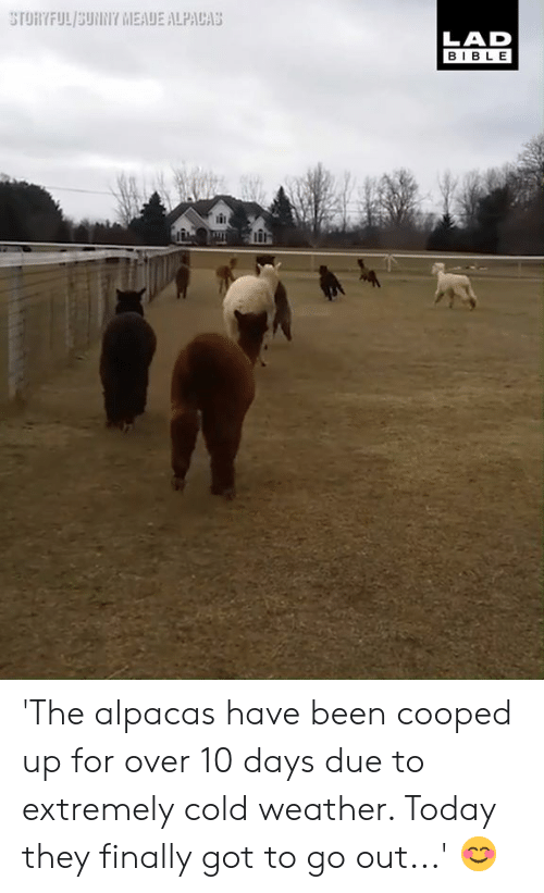 Dank, Bible, and Today: LAD  BIBLE 'The alpacas have been cooped up for over 10 days due to extremely cold weather. Today they finally got to go out...' 😊