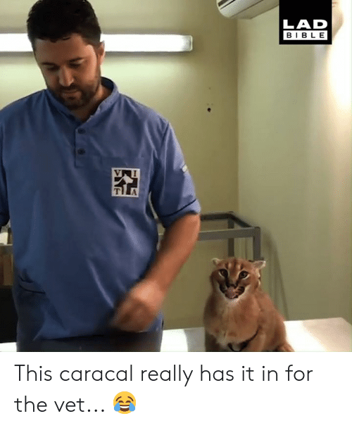 Dank, Bible, and 🤖: LAD  BIBLE This caracal really has it in for the vet... 😂