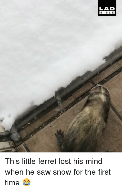 Memes, Saw, and Lost: LAD  BIBLE This little ferret lost his mind when he saw snow for the first time 😂