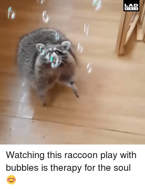 Dank, Bible, and Raccoon: LAD  BIBLE Watching this raccoon play with bubbles is therapy for the soul 😊