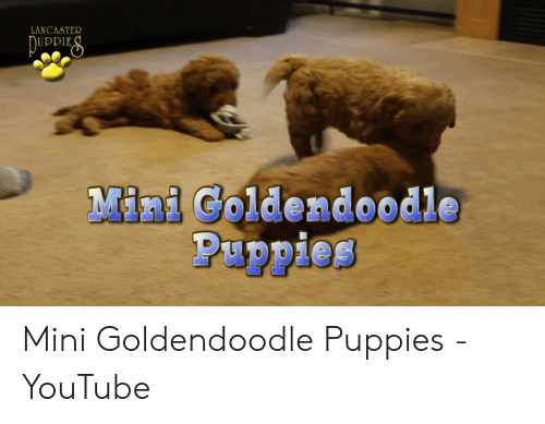 Lancaster Piddies Mini Goldendoodle Puppies Mini