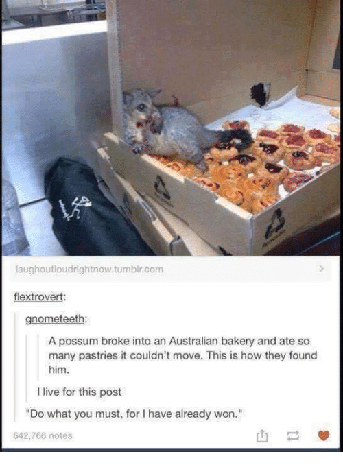 """Tumblr, Live, and Possum: laughoutloudrightnow.tumblr.com  flextrovert:  gnometeeth:  A possum broke into an Australian bakery and ate so  many pastries it couldn't move. This is how they found  him  I live for this post  """"Do what you must, for I have already won.""""  642,766 notes"""