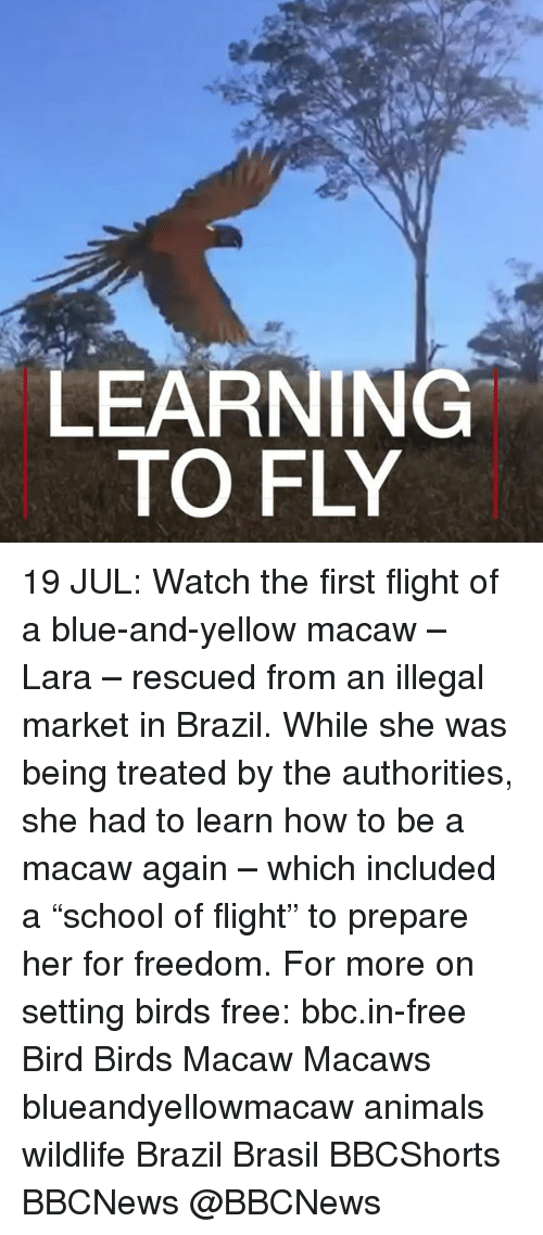 """Animals, Memes, and Birds: LEARNING  TO FLY 19 JUL: Watch the first flight of a blue-and-yellow macaw – Lara – rescued from an illegal market in Brazil. While she was being treated by the authorities, she had to learn how to be a macaw again – which included a """"school of flight"""" to prepare her for freedom. For more on setting birds free: bbc.in-free Bird Birds Macaw Macaws blueandyellowmacaw animals wildlife Brazil Brasil BBCShorts BBCNews @BBCNews"""